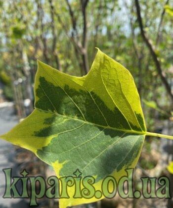 Лириодендрон Tulipifera Aureomarginatum